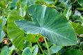 Taro leaf Stock Photography