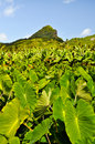Taro plantation on an island in Pacific Stock Photography