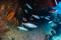 Tarpon in a small cave under an overhang on tropical coral reef Royalty Free Stock Photography