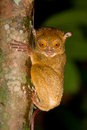 Tarsier Royalty Free Stock Photo