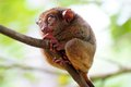 Tarsier closeup Royalty Free Stock Photos