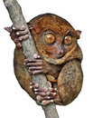 Tarsier Isolated Royalty Free Stock Photography