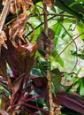 stock image of  Tarsier monkey on bamboo