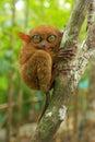 Tarsier Sitting On A Tree, Boh...