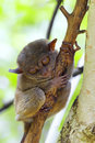 Tarsier sitting in a tree in bohol philippines Stock Image