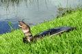 Tartaruga de Florida Softshell Imagem de Stock
