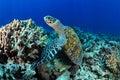 Tartaruga di mare Immagini Stock Libere da Diritti