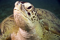Tartaruga verde (mydas di chelonia) Fotografie Stock Libere da Diritti