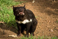 Tasmanian devil Royalty Free Stock Photos