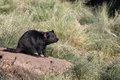 Tasmanian devil sarcophilus harrisii in tasmania australia Stock Photos