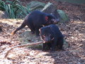 Tasmanian devils are in danger of extinction because tumour disease australian trying to rescue them the Royalty Free Stock Photography