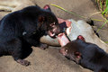 Tasmanian devils two eating and biting raw meat Stock Photos