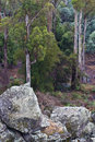 Tasmanian forest trees and boulders Stock Photos