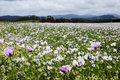 Tasmanian poppy field agricultural legal in tasmania australia Royalty Free Stock Photography