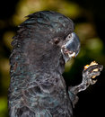 Tastes good black cockatoo eating a seed Royalty Free Stock Photography