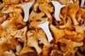 Tasty organic chanterelle mushroom Royalty Free Stock Image