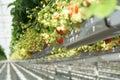 Tasty organic strawberry growth in big Dutch greenhouse, everyda Royalty Free Stock Photo