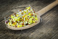 Tasty radish sprouts in wooden spoon Royalty Free Stock Photo