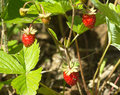 Tasty raspberries grows closeup ripe red strawberry in grass Royalty Free Stock Photos