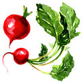 Tasty red garden radish watercolor painting on white background Stock Image