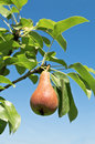 Tasty young pear. Royalty Free Stock Photo