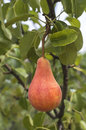 Tasty young pear hanging on tree. Royalty Free Stock Photo