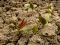 Tatarian maple seedlings group of young Royalty Free Stock Photography