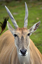 Taurotragus oryx Royalty Free Stock Photo