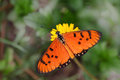 Tawny coaster acraea violae butterfly in tropical garden Stock Images