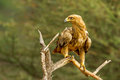 Tawny eagle adult standing alert on old tree branch Royalty Free Stock Image