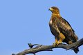 Tawny eagle aquila rapax in kruger national park south africa Royalty Free Stock Image