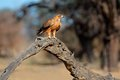 Tawny eagle aquila rapax perched on a branch kalahari south africa Royalty Free Stock Image