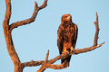 Tawny eagle aquila rapax perched on a branch kalahari south africa Stock Photography