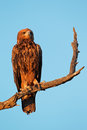 Tawny eagle aquila rapax perched on a branch kalahari south africa Stock Photos