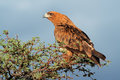 Tawny eagle aquila rapax perched on a tree kalahari south africa Royalty Free Stock Image