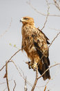 Tawny Eagle Royalty Free Stock Photo