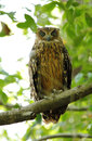 Tawny Fish Owl with third eyelid closed