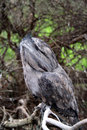 Tawny frog mouth owl Stock Photography