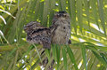 Tawny Frogmouth Royalty Free Stock Photos