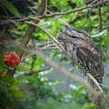 Tawny frogmouth australian podargus strigoide perched on a branch Stock Images