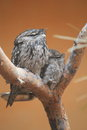 Tawny frogmouth the couple of frogmouths sitting on the tree Royalty Free Stock Photography