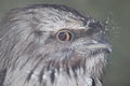 Tawny frogmouth the detail of Royalty Free Stock Image