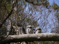 Tawny frogmouth family in a tree camouflaged frogmouths podargus strigoides blend with color and texture of the bark australia Stock Photos