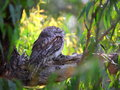 Tawny Frogmouth in tree Royalty Free Stock Photo