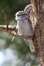 Tawny frogmouth the podargus strigoides is an australian species of an iconic type of bird found throughout the Royalty Free Stock Photos