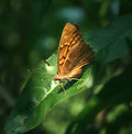 Tawny orange butterfly a bright emperor resting on the dark green leaf of a peach tree Royalty Free Stock Photos