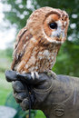 Tawny owl Royalty Free Stock Photography