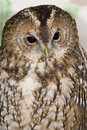 Tawny Owl Stock Photography