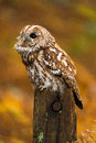 Tawny owl against a background of burnt orange autumn bracken Stock Photos