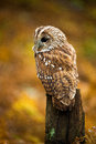 Tawny owl against a background of burnt orange autumn bracken Stock Photo